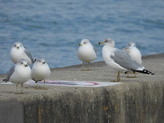 Ring-billed Gull (Smith Birding) Tags: larusdelawarensis gull ringbilledgull fall chicago loyolapark photography wildlife coolpixp1000 nikon birds