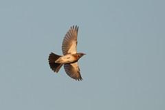 Fieldfare in Flight (Robin M Morrison) Tags: fieldfare flight river yeo long load