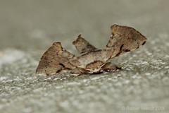 IMG_7939 Ocinara ficicola (Raiwen) Tags: ocinaraficicola ocinara bombycidae lepidoptera insect moth basseguinée guinea westafrica africa