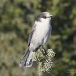 Canada Jay 2 - Manning Park, BC thumbnail