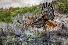 Red-tailed Hawk (andy_harris62) Tags: redtailedhawk hawk californiawildlife sanfrancisco holidaysnap nikond850 nikon nikkor outside bird