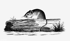 Mouse on a branch shade drawing (Free Public Domain Illustrations by rawpixel) Tags: 1853 animal antique art artwork cc0 creativecommons0 drawing element engraved engraving fineart graphic graphite hesperomystexana illustration ink lines lorenzo lorenzositgreaves mouse name painting pencil publicdomain rat retro shade shaded sitgreaves sketch sketching tail vintage wild wildlife