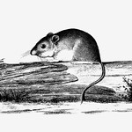 Mouse on a branch shade drawing thumbnail