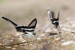 White Dragontail (Lamproptera curius curius) 燕鳳蝶 (Nelson Wong Wildlife) Tags: lampropteracurius whitedragontail 燕鳳蝶 swallowtail butterfly insect animal wildlife nature malaysia sony a7 tamron 180mm macro