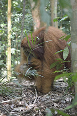 _DSC0398_flickr (T and F Bollen) Tags: nature wild jungle ape sumatra nationalpark gunungleuser urangutang bukitlawang indonesia urang utang life