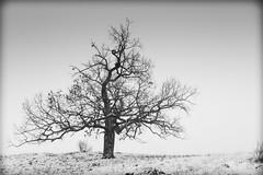 tree b&w (matwolf) Tags: tree trees nature natur snow winter schnee frozen blackandwhite bw blackwhite blanc noiretblanc ngc noirblanc negroyblanco blancoynegro monochrome mono monochrom schwarz weis