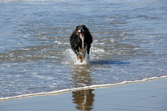 Water Dog (JB by the Sea) Tags: sanfrancisco california october2018 fortfunston australianshepherd aussieshepherd aussie dog dash pacificocean pacific ocean
