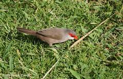 Common waxbill, Oahu (Frank G Cornish) Tags: bird waxbill oahu