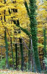 "Cincinnati - Spring Grove Cemetery & Arboretum ""Green Trunks In Autumn"""" (David Paul Ohmer) Tags: cincinnati ohio spring grove cemetery arboretum green tree trunks autumn fall"