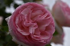 Rose 'Mary Rose' raised in UK (naruo0720) Tags: rose englishrose maryrose englishrosescollection バラ イギリスのバラ メアリーローズ イギリスのバラコレクション sigmalenses nikonscamera d810 sigma105mmf28exdgoshsm