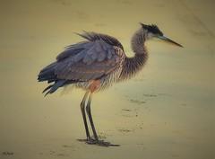 Quick Shake--explore (beachpeepsrus) Tags: heron beach bay bird blue california color coast shore shorefront