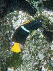 Holacanthus passer (king angelfish) (Anita363) Tags: kingangelfish angelfish holacanthuspasser holacanthus pomacanthidae perciformes teleost fish fauna snorkeling film islasantafe santafeisland santafe galápagos galapagos ecuador