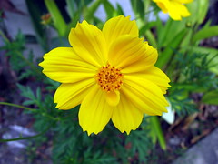 cosmos (the foreign photographer - ฝรั่งถ่) Tags: cosmos flower yellow roadside our street bangkhen bangkok thailand canon