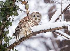 Snow Days... (DTT67) Tags: barredowl owl snow winter raptor 500mmii 1dxmkii canon birds nature wildlife