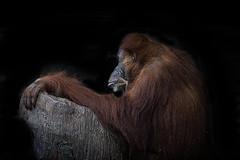 Animal Portraits - Wistful (KWPashuk) Tags: sony alpha a6000 55210mm lightroom luminar luminar2018 luminar3 kwpashuk kevinpashuk orangutan ape primate toronto zoo ontario canada torontozoo wildlife animal portrait nature indoors