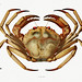 Atlantic deep sea red crab vintage poster