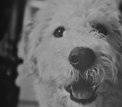 SassyRose~ (Dreaming Diva) Tags: labradoodle sepia benji curl happiness smile play home indoor fun cabin fever winter season canon vintage lens nose eyes pet puppy dog friend