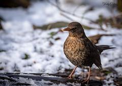 Blackbird (female) in the snow (vickyouten) Tags: blackbird blackbirds nature naturephotography wildlife britishwildlife wildlifephotography nikon nikond7200 nikonphotography sigma sigma150600mmc penningtonflash leigh uk vickyouten
