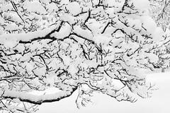 Winter wonderland (smir_001) Tags: nature magnolia canoneos6dmarkii magnoliagrandiflora magnoliaceae tree flora trees plants britishparks britishgardens bath england somerset bathnes royalvictoriapark botanicalgardens uk winter february snow wintryscene snowing landscape cold blackandwhite bw monotone monochrome white abstract details fineart winterwonderland wonderland