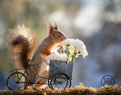 red squirrel with a bike and load white flowers (Geert Weggen) Tags: bicycle cycling squirrel animalwildlife animalsinthewild autumn day dinner eating eurasianredsquirrel food foodanddrink fruit grass healthylifestyle horizontal meal metal nopeople old outdoors photography picnic smelling summer sweden tasting transportation wheel woodland working flower aster white bispgården jämtland geert weggen ragunda