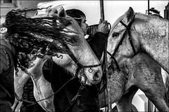 Des cheveux et des chevaux / Hairs and horses (vedebe) Tags: animaux chevaux humain human homme people gardians fête abrivado camargue noiretblanc netb nb bw monochrome france