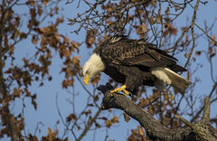sitting on one of their favorite branches.... (Kevin Povenz Thanks for all the views and comments) Tags: 2018 november kevinpovenz westmichigan michigan ottawa ottawacounty ottawacountyparks grandravinesnorth bird birdsofprey baldeagle eagle earlymorning nature wildlife outdoors outside tree canon7dmarkii sigma150500