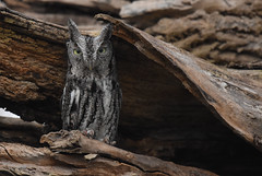 Eastern Screech Owl (aj4095) Tags: eastern screech owl bird november ontario canada tree nature wildlife nikon