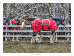 The Budweiser Clydesdales in Merrimack, NH. Astoundingly beautiful and magnificent horses. (Pearce Levrais Photography) Tags: canon hdr farm fence horse horses clydesdale clydesdales budweiser busch anheuser anheuserbusch meadow equine equis forest tree branch winter blanket red show touring brewing beer company owned famous national outside outdoor picoftheday photooftheday landscape nature greatshot