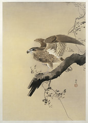 Hawk (1887-1945) by Ohara Koson (1877-1945). Original from The Rijksmuseum. Digitally enhanced by rawpixel. (Free Public Domain Illustrations by rawpixel) Tags: pdproject21batch2x otherkeywords tagcc0 animal antique art asian bird drawing hawk illustration japan japanese koson museum ohara oharakoson old paint rijksmuseum vintage