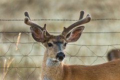 Grizzled veteran (Brown Acres Mark) Tags: blacktaileddeer odocoileushemionuscolumbianus buck deer jacksoncounty oregon usa markheatherington