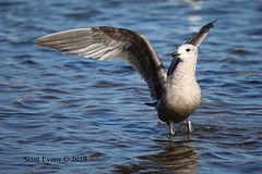 """American Herring Gull by Scott Evans (Scott """"Burns"""" Evans) Tags: 1st cycle american herring gull worn winter scott evans nature avian photography monroe lake fairfax sra january 2019"""