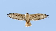 Ferruginous Hawk (AmyEHunt) Tags: ferruginoushawk hawk raptor birdofprey bird animal wild wildlife wyoming laramie huttonlakewildliferefuge refuge nature sky naturephotography flight canon