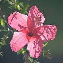 Shadowy translucent rose Hibiscus (jungle mama) Tags: hibiscusstamen hibiscus shadow rose pink flower tropicalflower fairchildtropicalbotanicgarden fairchildgarden susanfordcollins lace petal transparent coth5