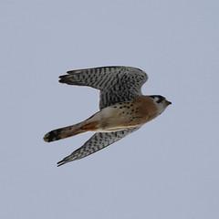 amke-im-m-neartwobuttes-1-20-19-tl-02-croplarger (pomarinejaeger) Tags: colorado bird americankestrel falcosparverius