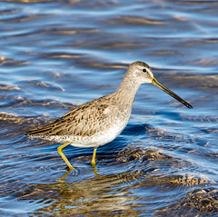 Long-Billed Dowitcher (Ed Sivon) Tags: america canon nature lasvegas wildlife wild western southwest desert clarkcounty vegas flickr bird henderson nevada park