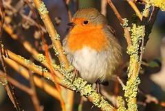 Robin 030117 (Richard Collier - Wildlife and Travel Photography) Tags: birds british britishbirds wildlife naturalhistory robin naturethroughthelens coth5 red