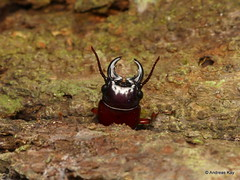 Longhorn beetle, Cerambycidae, Parandrinae (Ecuador Megadiverso) Tags: andreaskay beetle coleoptera ecuador wildsumaco parandrinae longhornbeetle cerambycidae