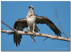 Osprey with dinner (Betty Vlasiu) Tags: osprey with dinner pandion haliaetus bird nature wildlife florida