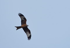 DSC_2287 Red Kite (PeaTJay) Tags: nikond750 tamron reading lowerearley berkshire outdoors nature birds birdsofprey redkite