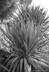 P9940732.jpg (DrOpMaN®) Tags: dmcgx7 olympus m43turkiye flowersplants panasonic blackwhite lumix m43 mzuiko30mmmacro