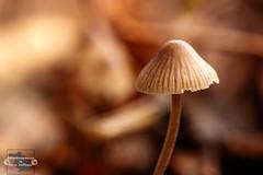 Kleiner Pilz (Betrachtungsweisen) Tags: 2018 sigma105mm pilze mushroom eos77d makro canon macro