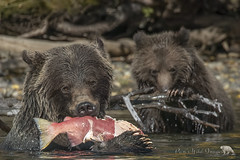 Not Sharing (PamsWildImages) Tags: grizzly britishcolumbia bear canada cub fish salmon nature naturephotographer wildlife wildlifephotographer pamswildimages pammullins 1dxmarkii