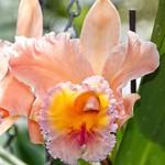 Toronto Ontario - Canada - Allan Gardens Conservatory - Toronto Tropical Garden -  Iris pseudacorus (yellow flag, yellow iris ) thumbnail