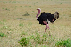 male Masai Ostrich (cirdantravels (Fons Buts)) Tags: struthiocamelusmassaicus struthiocamelus struthio struthionidae flightlessbird struthioniformes ostrich struisvogel autruche straus serengeti filipbuts