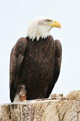 IMG_1449 (Stefan Kusinski) Tags: hemsley duncombe ncbp birdofprey