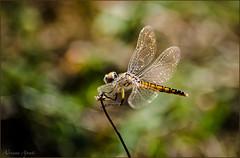rovistando nell'archivio, rummaging in the archive (adrianaaprati) Tags: caffarella ali libellula dragonfly wings flight bokeh light