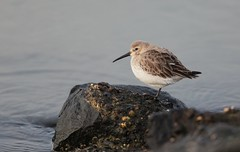 Dunlin / bonte strandloper (douwesvincent) Tags: sea wadden water winter birding photo outdoor cold freezing surviving peer holwerd holland sunny wheather cool enjoying nature out world friesland rocks brown fauna birds birdwatching