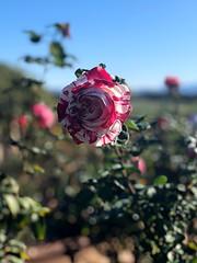 (irene_joy) Tags: sandiego garden park balboa peppermint flower rose