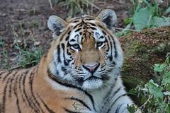 Tiger (Hugo von Schreck) Tags: hugovonschreck cat katze animal tiger canoneos5dmarkiii sigma150500mm onlythebestofnature