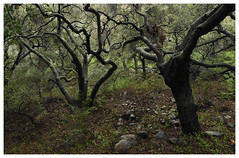 ANF_0040 (Thomas Willard) Tags: coast california live foothills chaparral oak tree canopy landscape forest rain woods trees